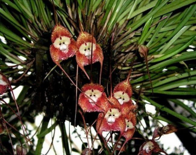 Bunga angrek wajah monyet