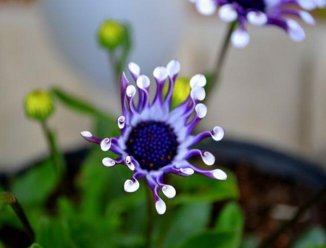 Bunga Alien