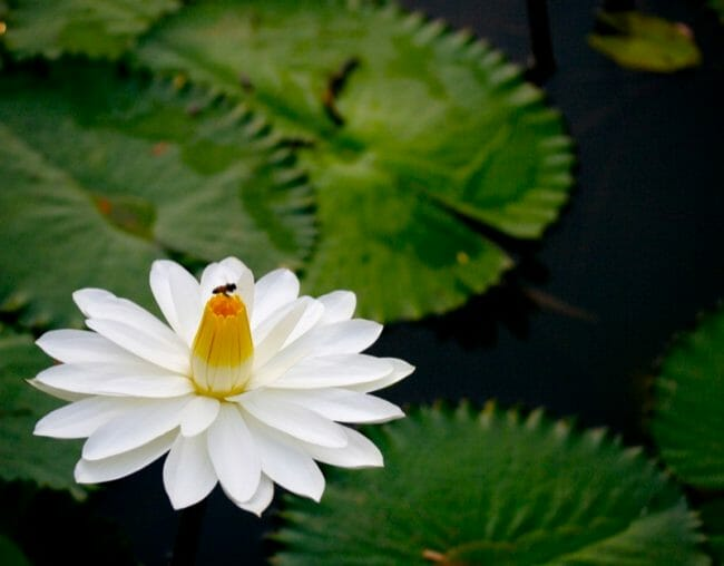Nymphaea_lotus