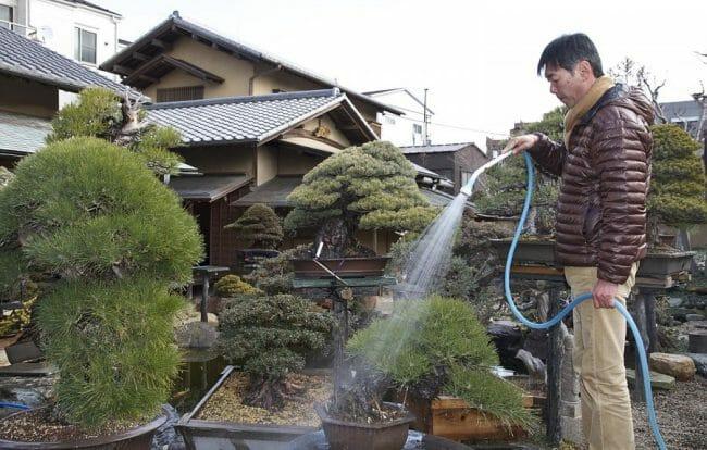 Penyiraman bonsai