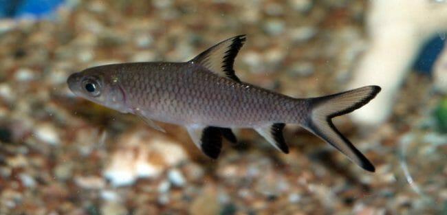 Ikan Hias Termahal di Indonesia - Bala Shark