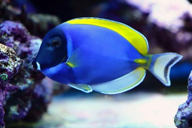 ikan hias termahal indonesia - Botana Biru