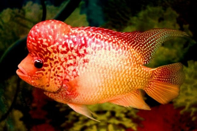 Ikan Hias Lou Han