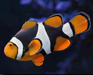 ikan hias termahal di indonesia - nemo biak
