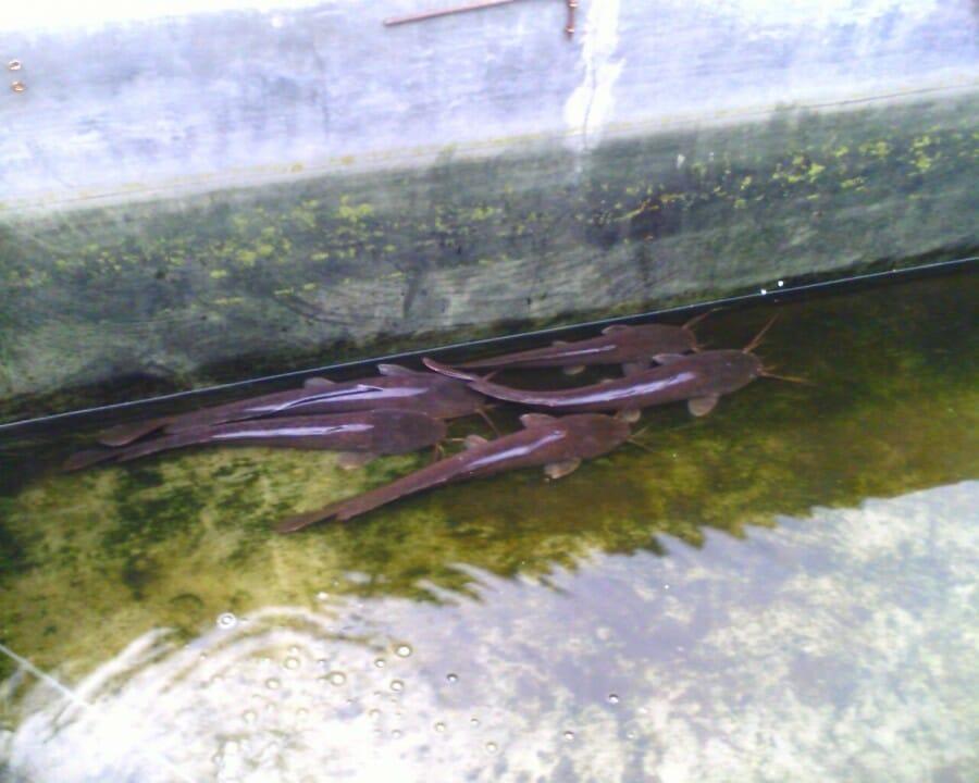 Pembibitan Ikan Lele