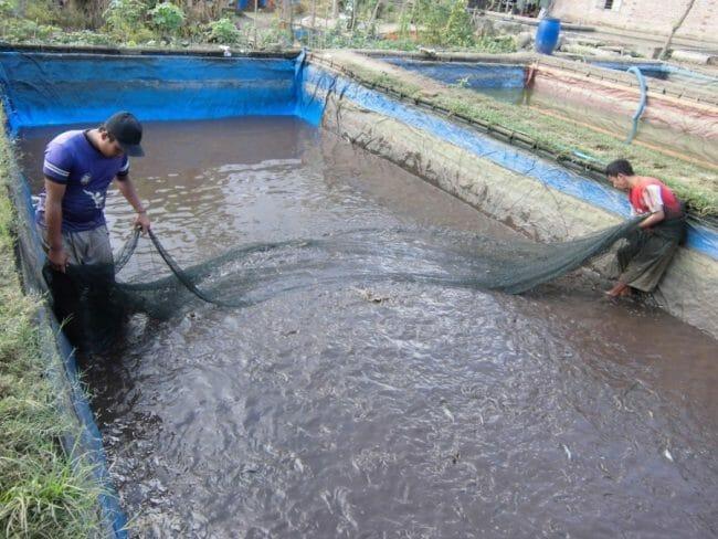 Proses Panen Ikan Lele