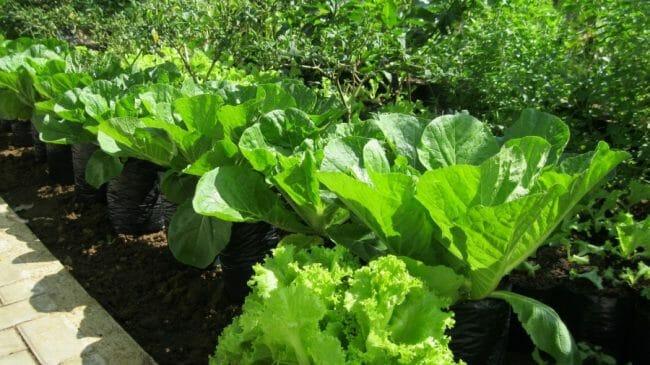 sayuran hijau sangat baik bagi ibu hamil