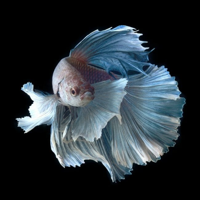 Ikan Hias Cupang Termasuk Jenis Ikan Air Tawar