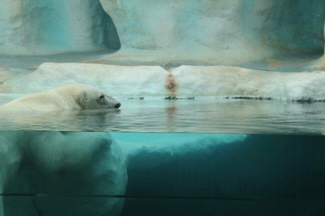 Beruang Kutub Bisa Berenang Seminggu Nonstop