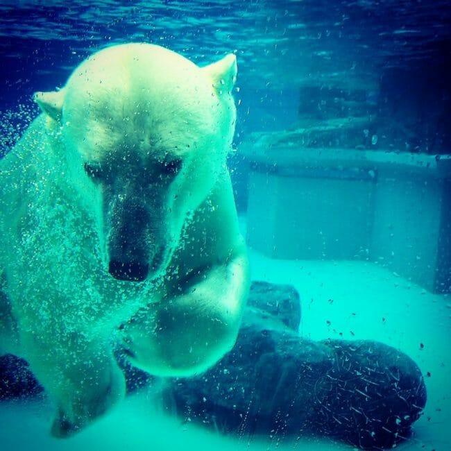 Beruang Kutub Tidak Bisa Dilihat dengan Kamera Inframerah