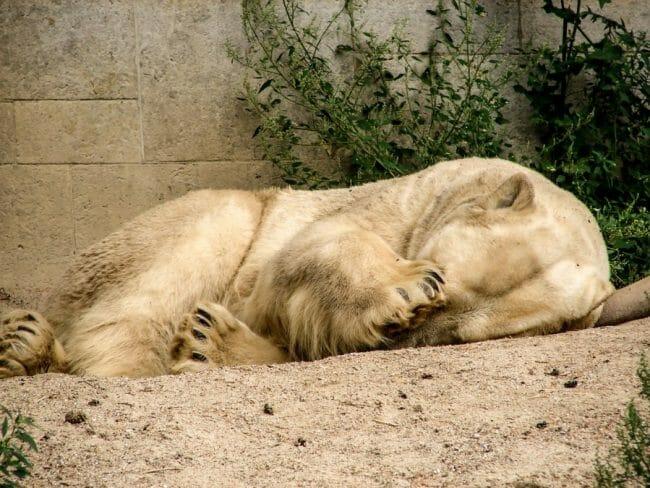 Bulu Beruang Kutub Rontok pada Saat Musim Panas