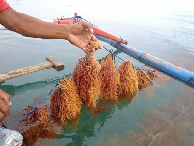 Melihat Budidaya Rumput Laut di Pulau Pari