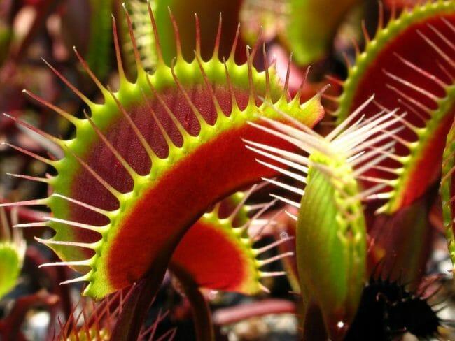 Bunga Dionaea Muscipula