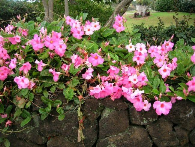 bunga mandevila