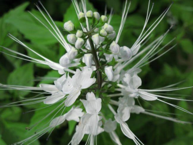 bunga melati kumis