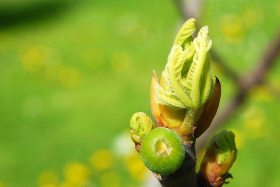 fungsi kuncup tumbuhan