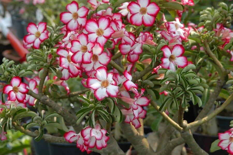 merawat bunga adenium
