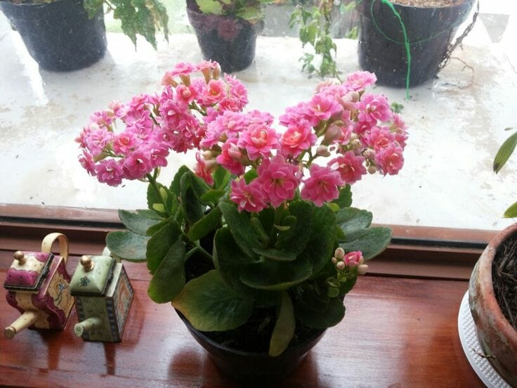 tanaman-hias-cocor-bebek