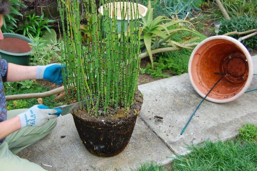 tanaman hias bambu air