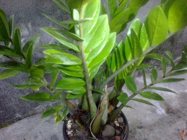 tanaman hias zamia