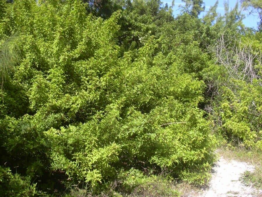 pohon-yahudi