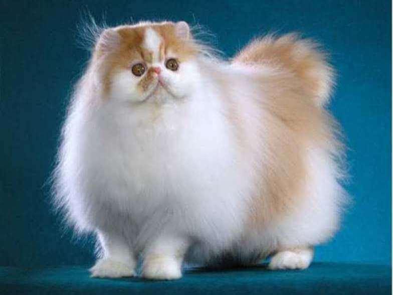 Ras Jenis Kucing Anggora