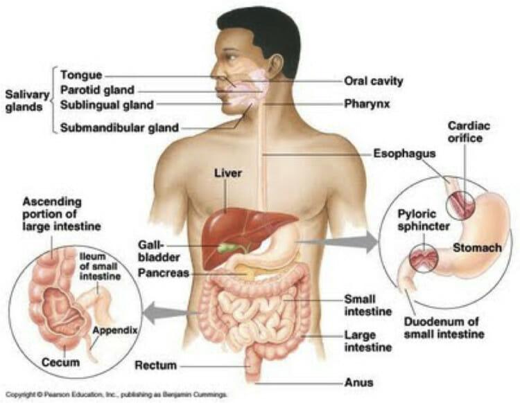 Proses pencernaan makanan