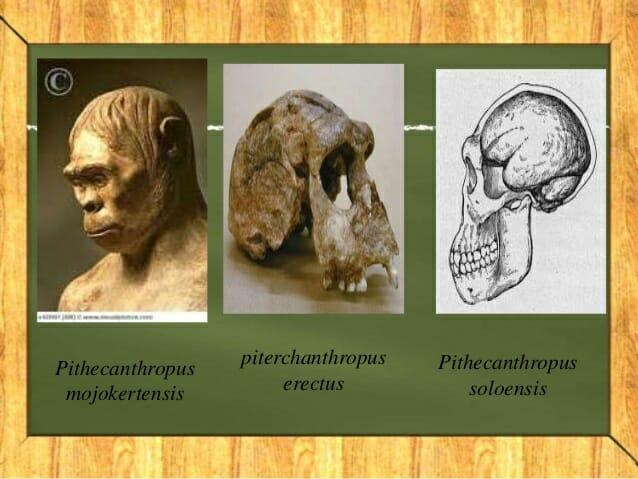 PITHECANTHROPUS MOJOKERTENSIS