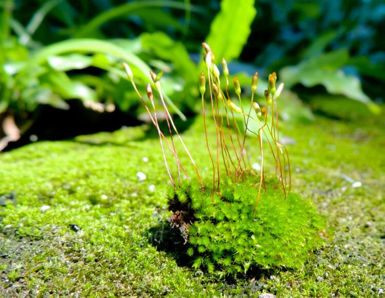 ciri-ciri tumbuhan lumut hati