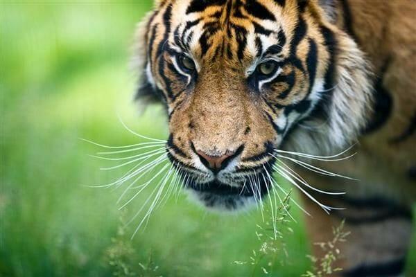 sejarah 7 manusia harimau