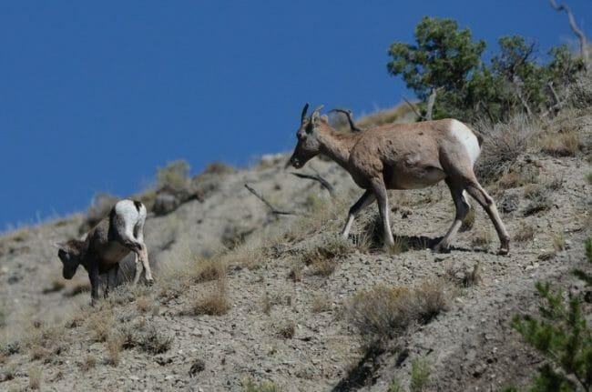 hewan turun gunung